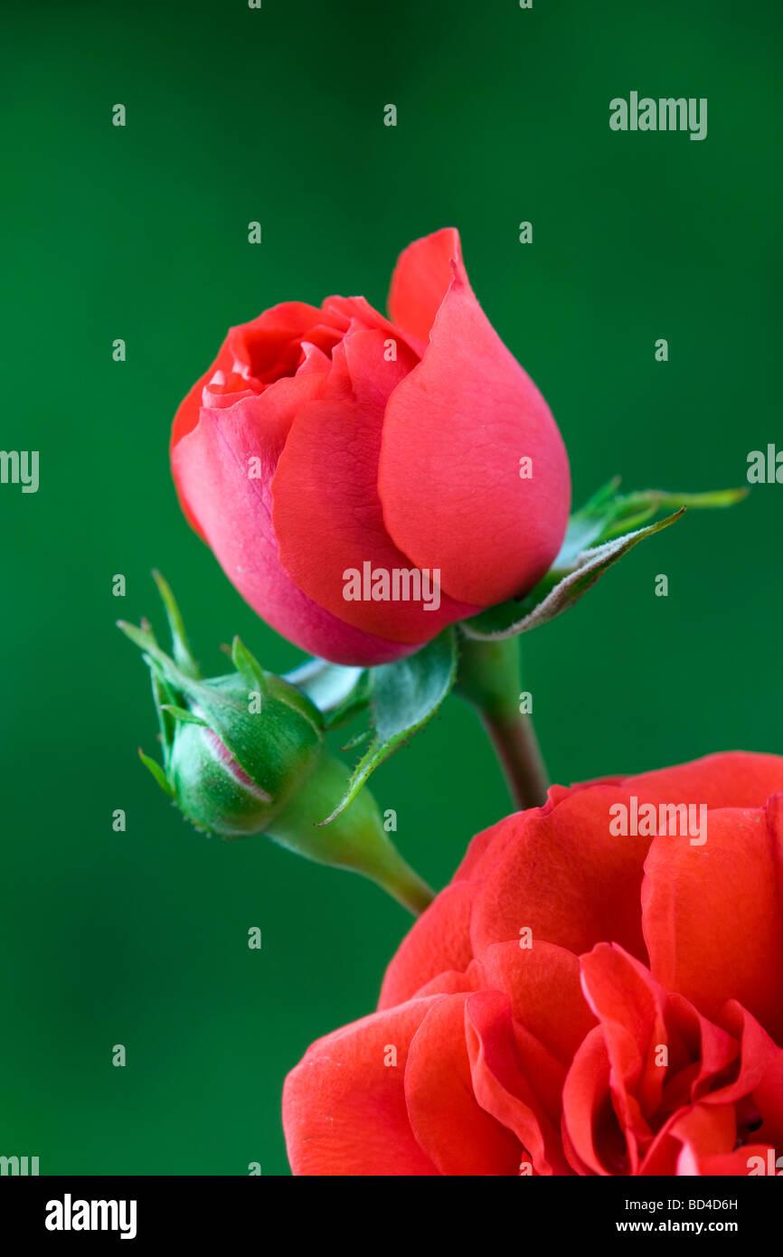 Rose rot Hof Stockbild
