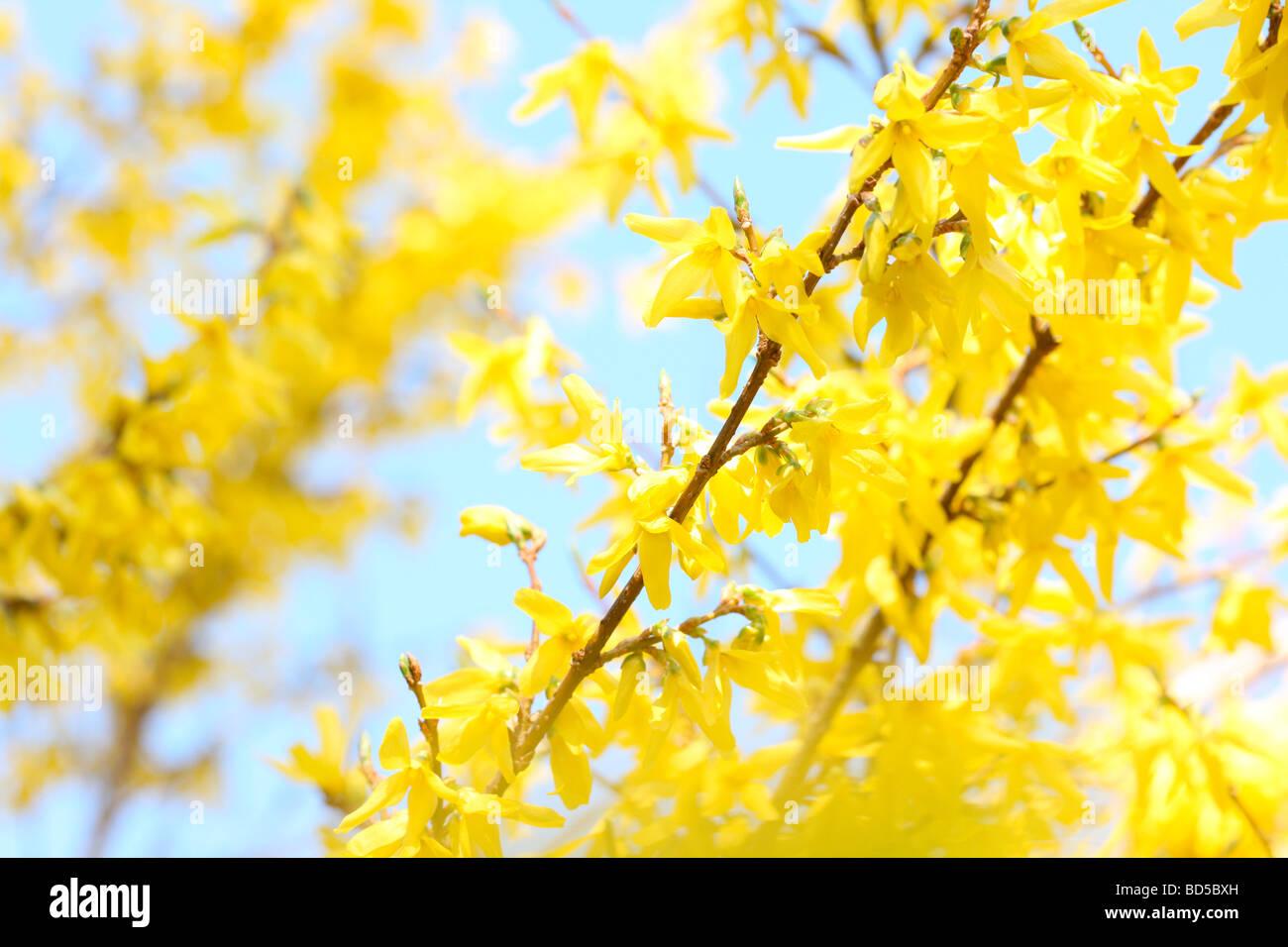 charmante gelben Forsythien ergibt sich in einem zeitgenössischen ...