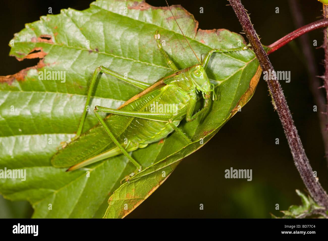 Tettigoniidae auf einem grünen Blatt Stockbild