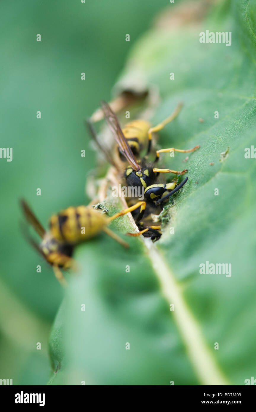 wasp bite stockfotos wasp bite bilder alamy. Black Bedroom Furniture Sets. Home Design Ideas