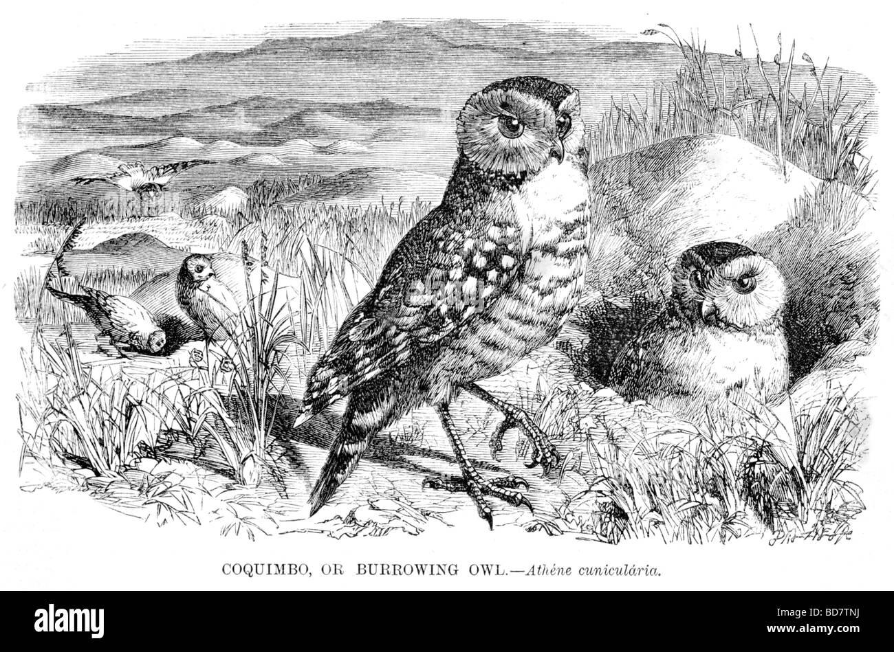 Coquimbo oder Kanincheneule Athene Cunicularia Raubvogel Eule Stockbild