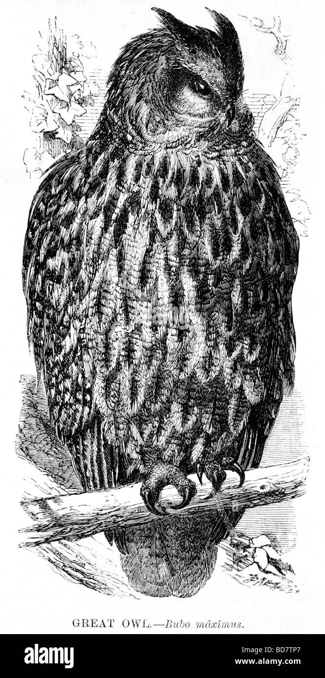 große Eule Bubo Maximus Raubvogel Stockbild