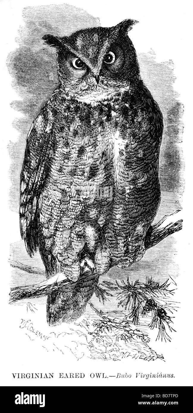 Verginian eared Eule Bubo Virginianus Raubvogel Stockbild