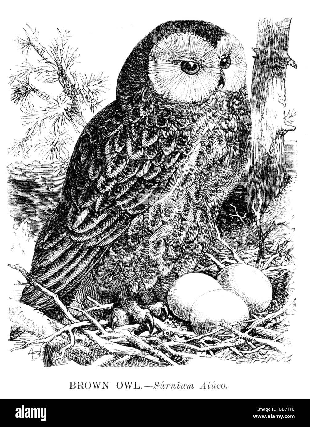 braune Eule Surnium Aluco Raubvogel Stockbild