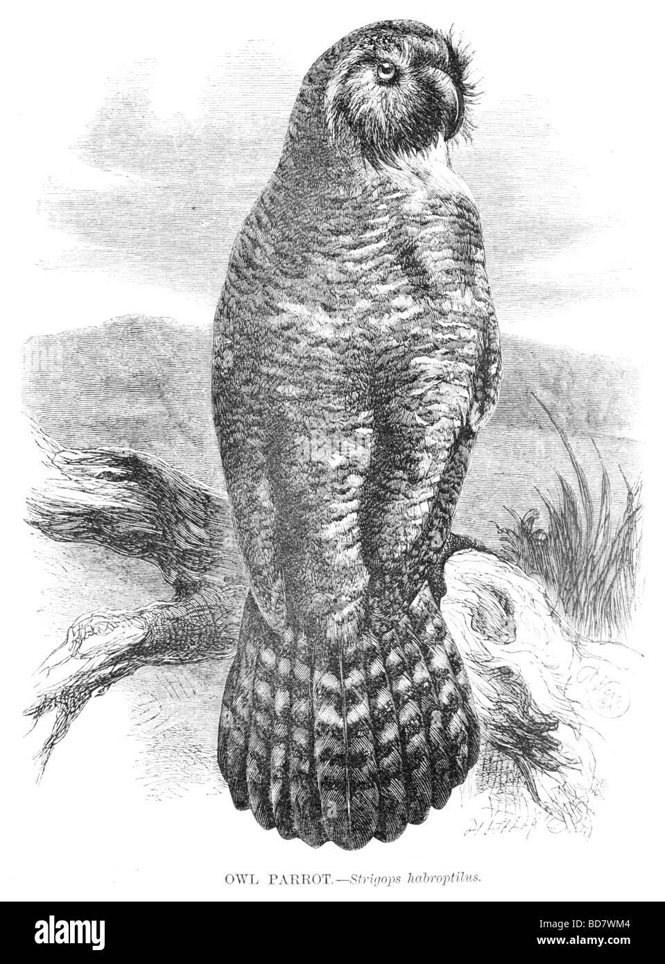 Eule Papagei Strigops habroptilus Stockbild