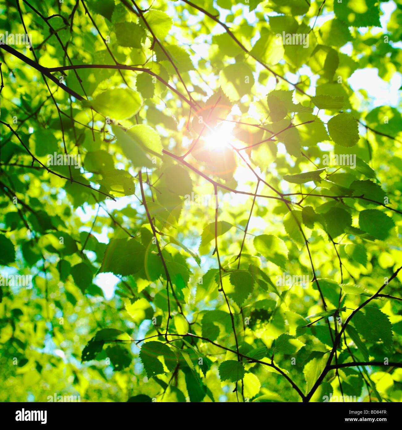 Sonne glitzerte durch Buche Blätter im Frühling. (Fagus Sylvatica) Stockbild