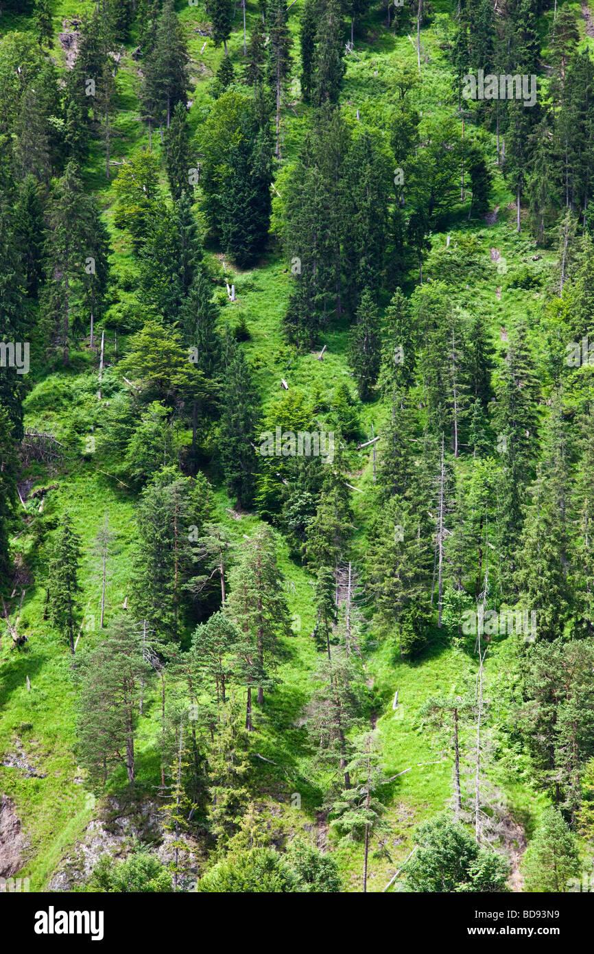 Deutschland Bayern immergrüne Bäume an einem steilen Hang Stockbild