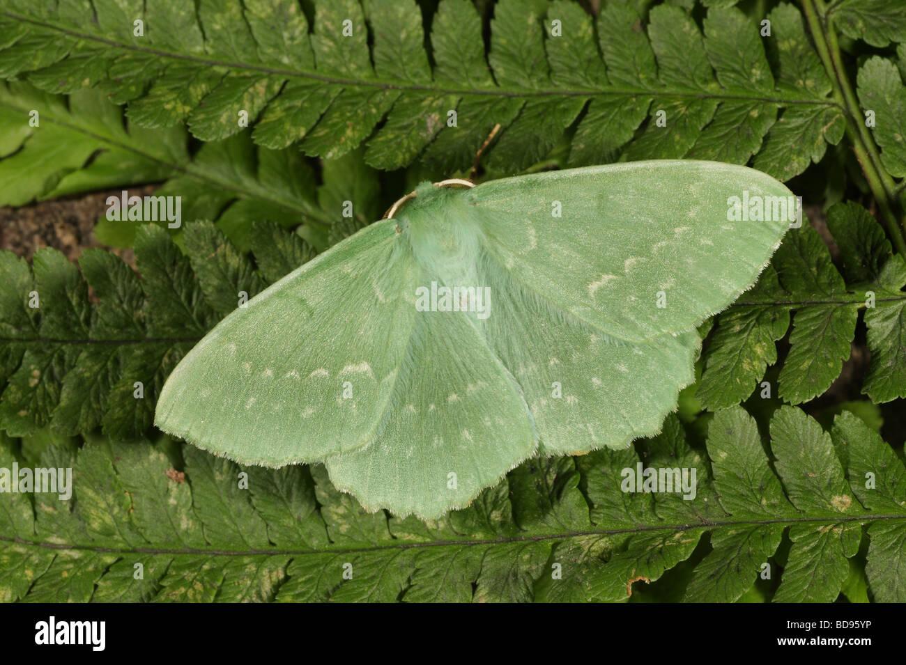 Großer Smaragd - Geometra papilionaria Stockbild