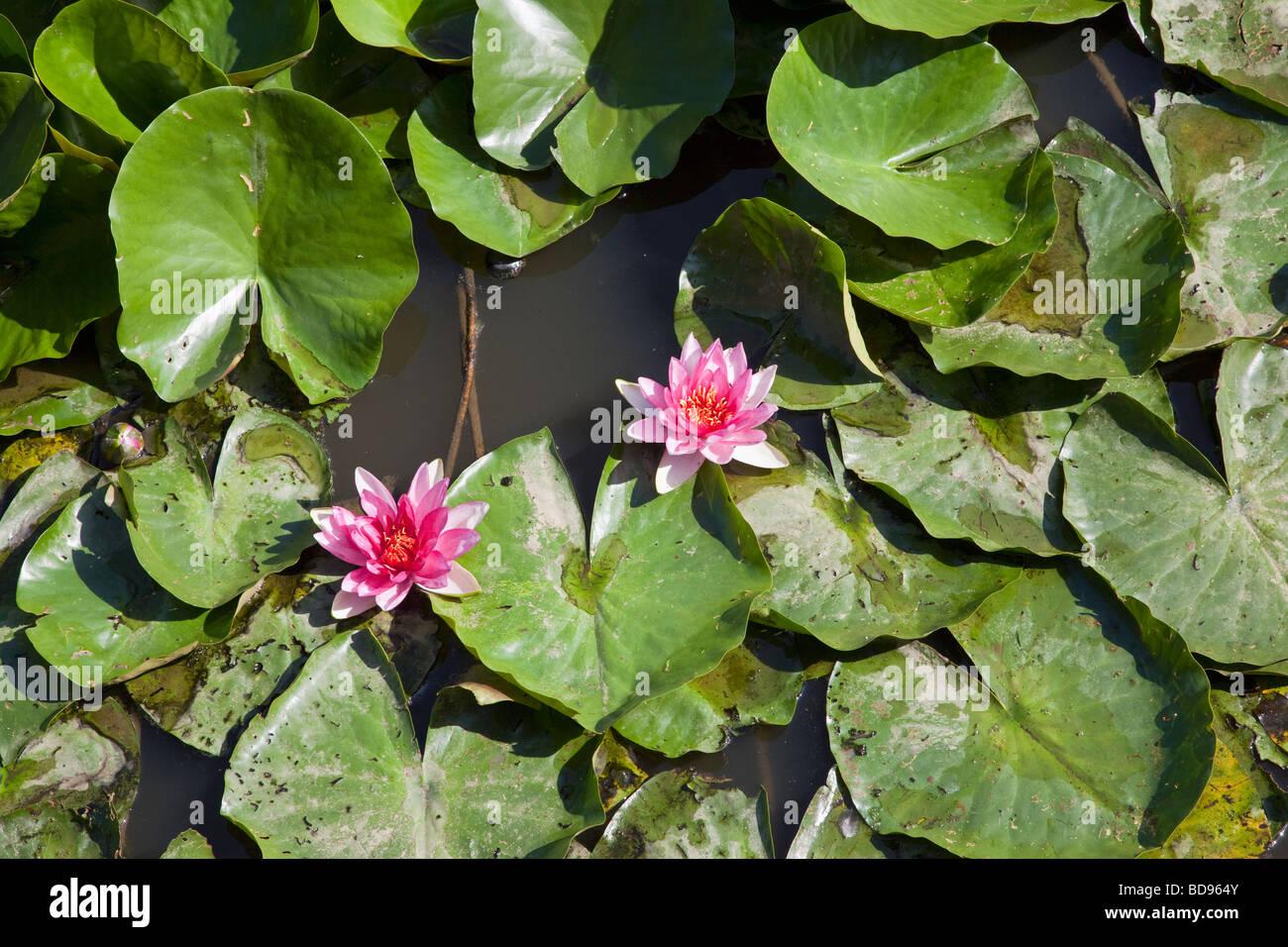 Wasser-Lilien auf einem Teich mit zwei rosa Blüten Stockbild