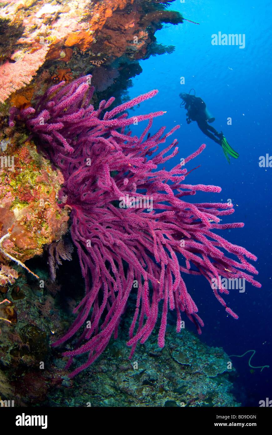 Scubadiver erkunden philippine Korallenriff. Stockbild