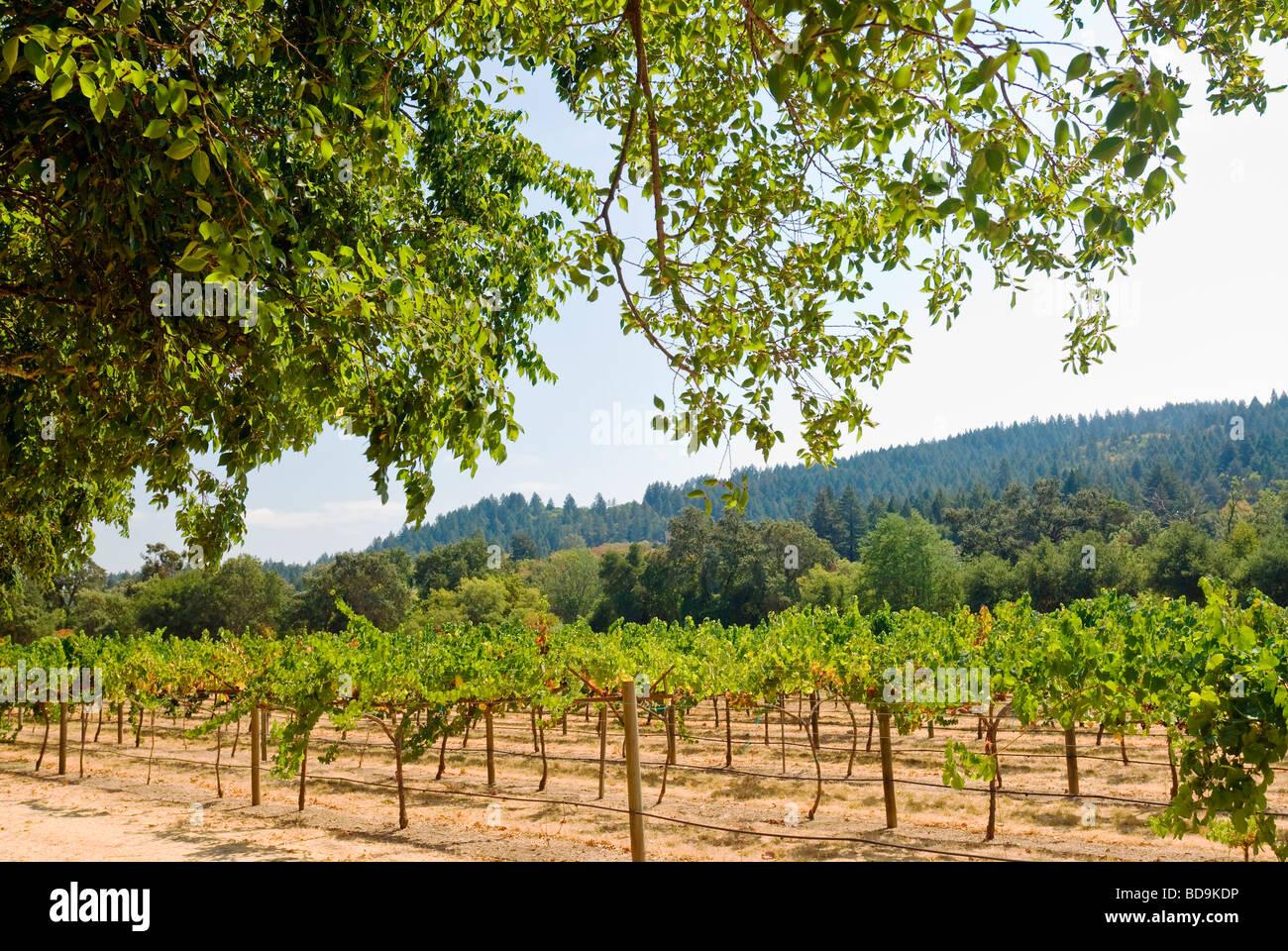 Weinberge, Napa Valley, Kalifornien. Stockbild