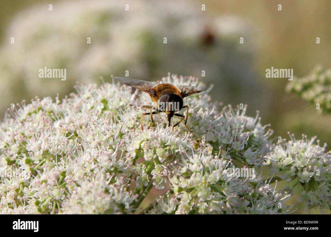 Honigbiene imitieren Dronefly oder Hoverfly, Eristalis Pertinax, Diptera Stockbild