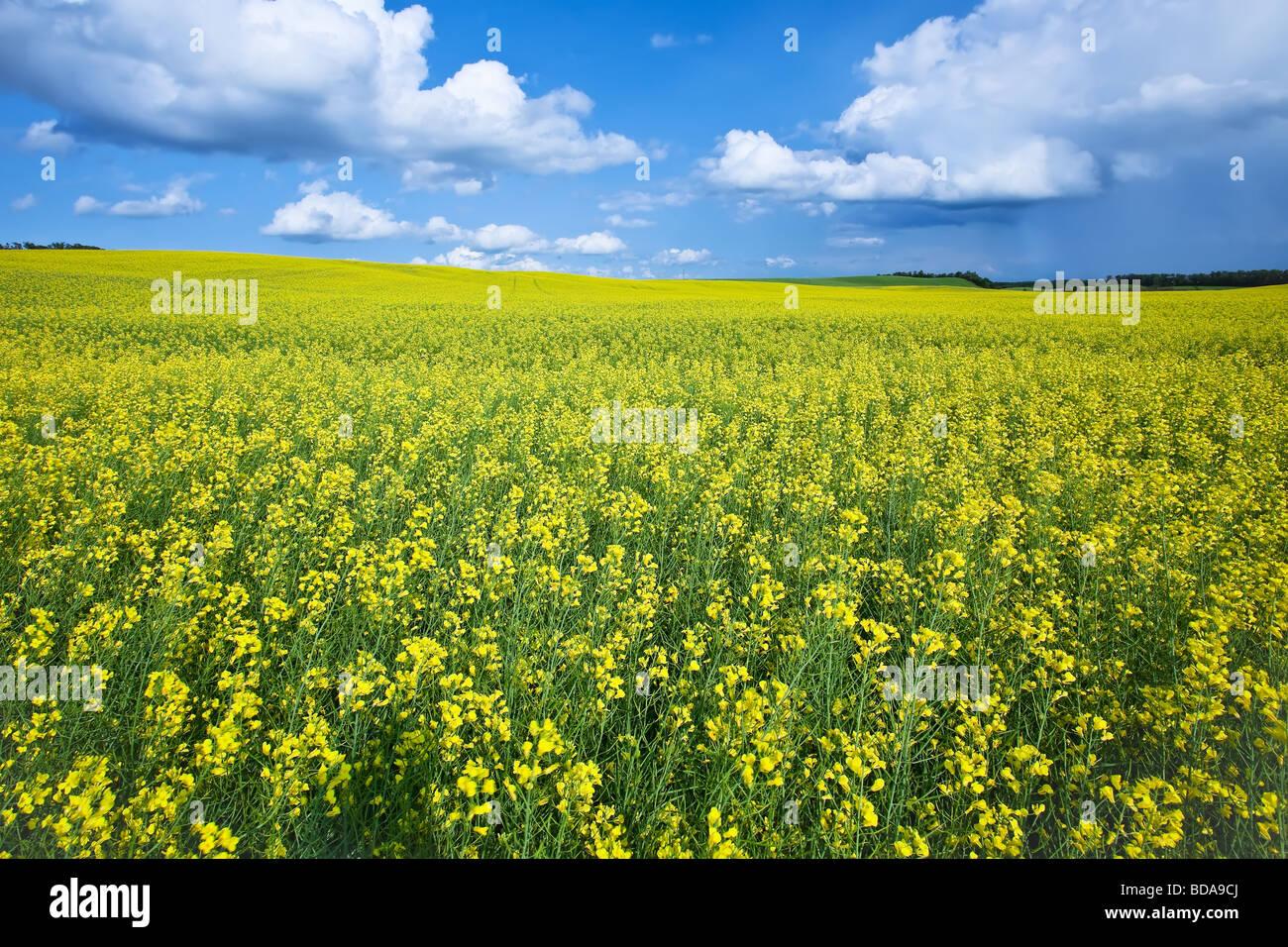 Raps Feld und Cumulus-Wolken in der kanadischen Prärie, Pembina Valley, Manitoba, Kanada. Stockbild