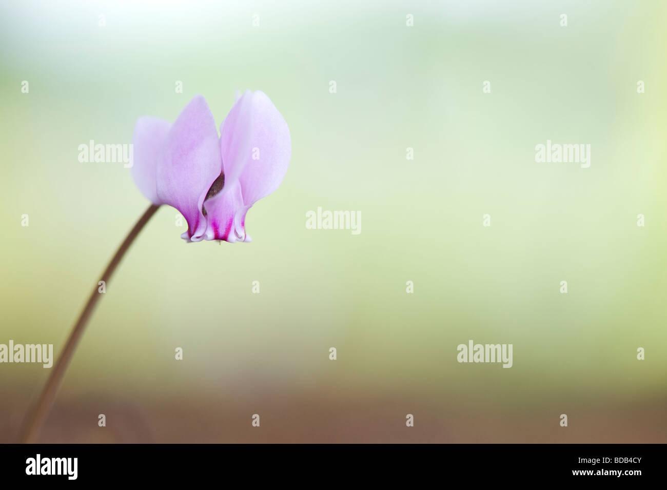 Cyclamen Hederifolium blüht im Herbst. Efeu-leaved Alpenveilchen Stockbild