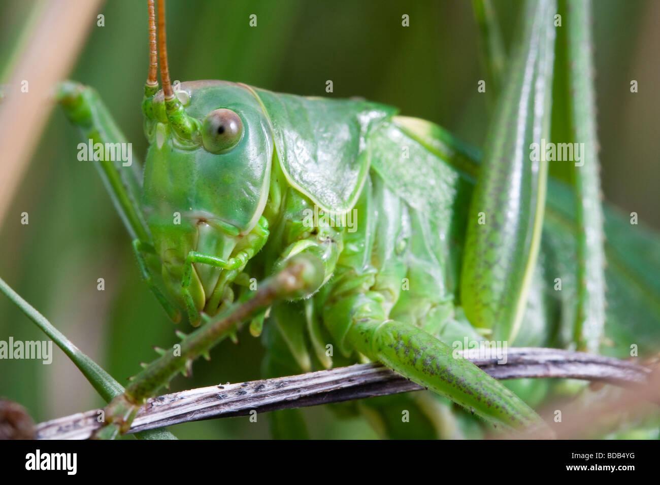 Große grüne Bush-Cricket (Tettigonia Viridissima) Closeup Stockbild