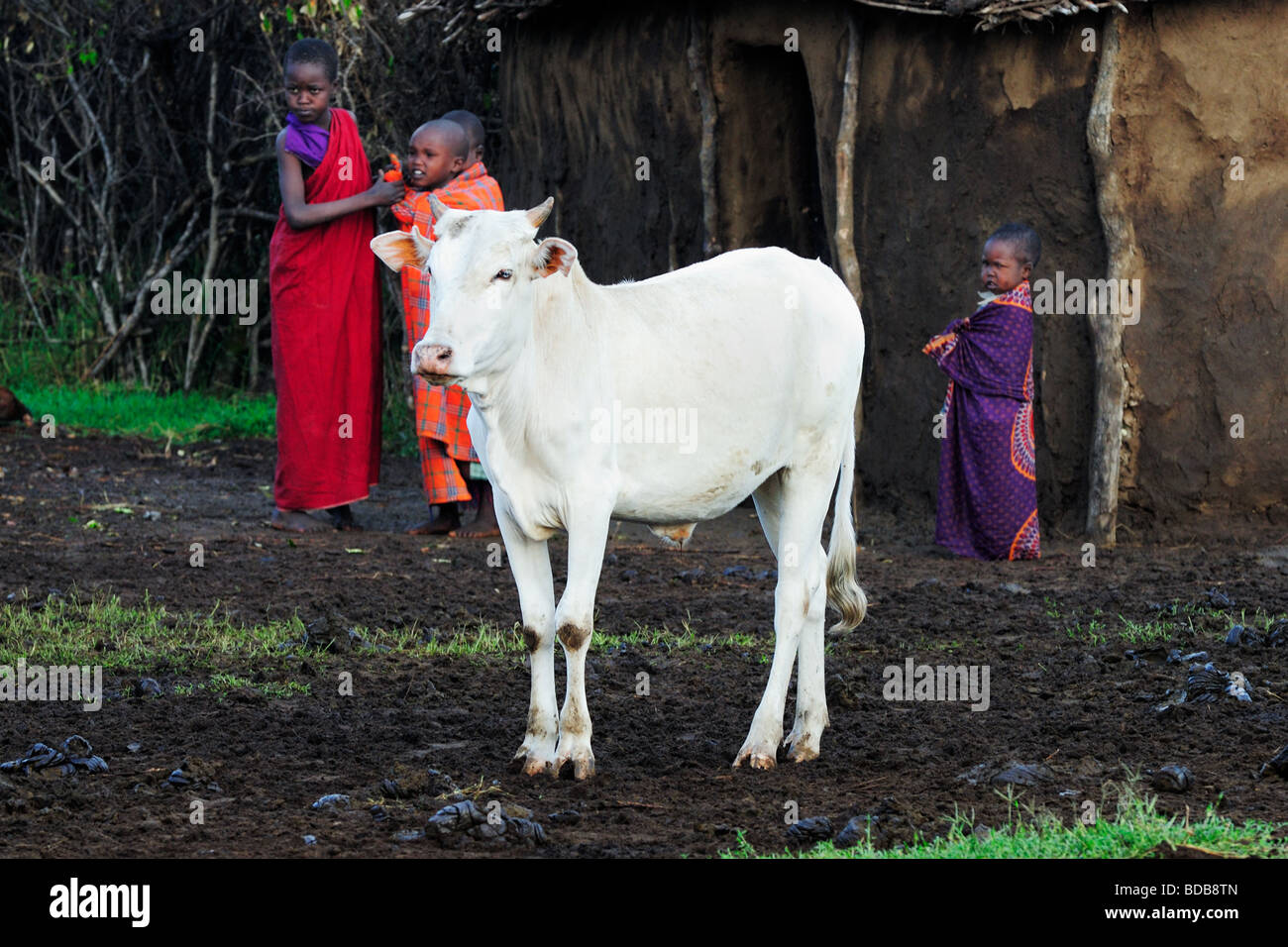 Masai Kuh Spaziergang Durch Dorf Wahrend Einer Hochzeitszeremonie In