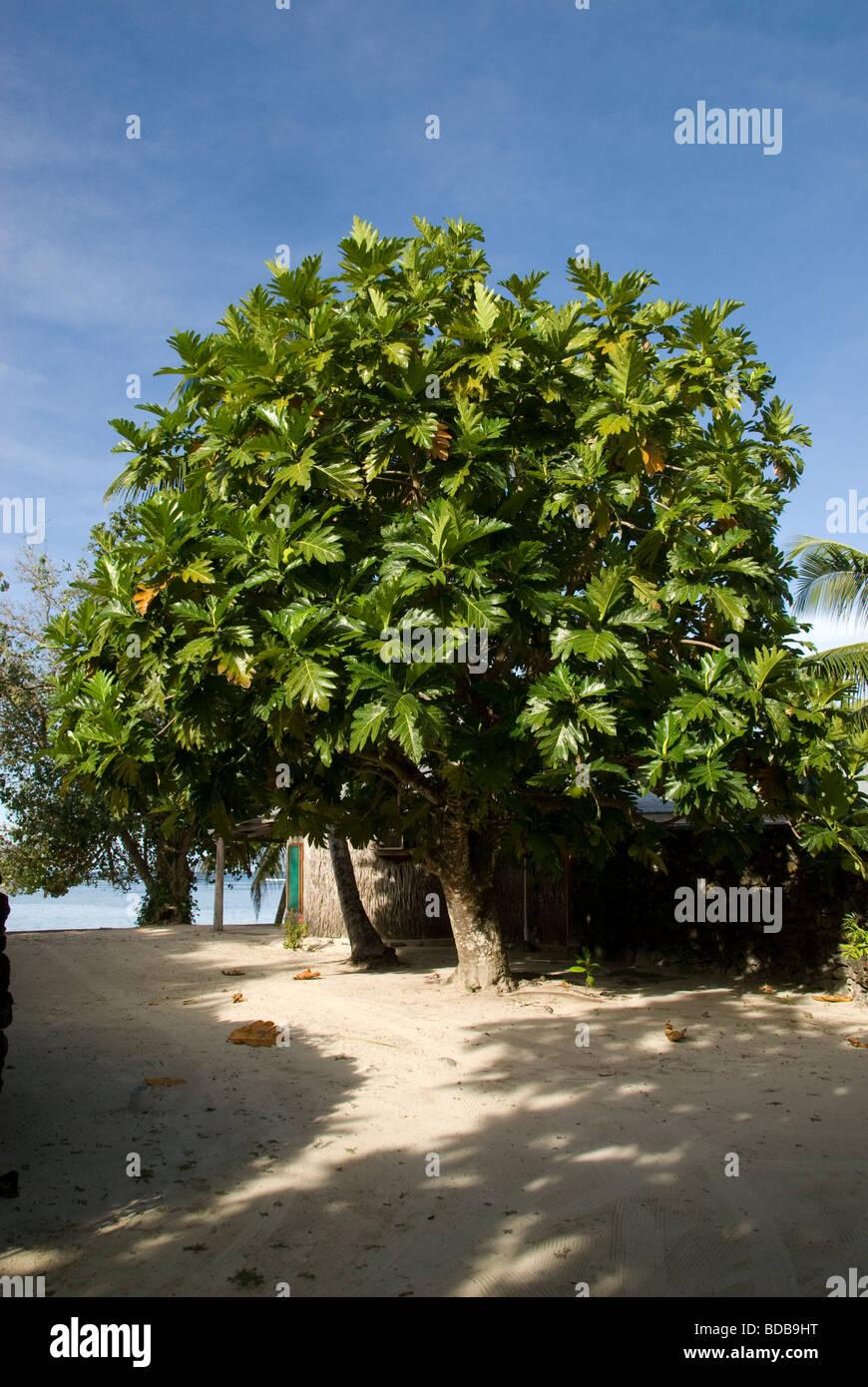 Brotfrucht Baum, Manase Dorf, Savai ' i Island, West-Samoa Stockbild