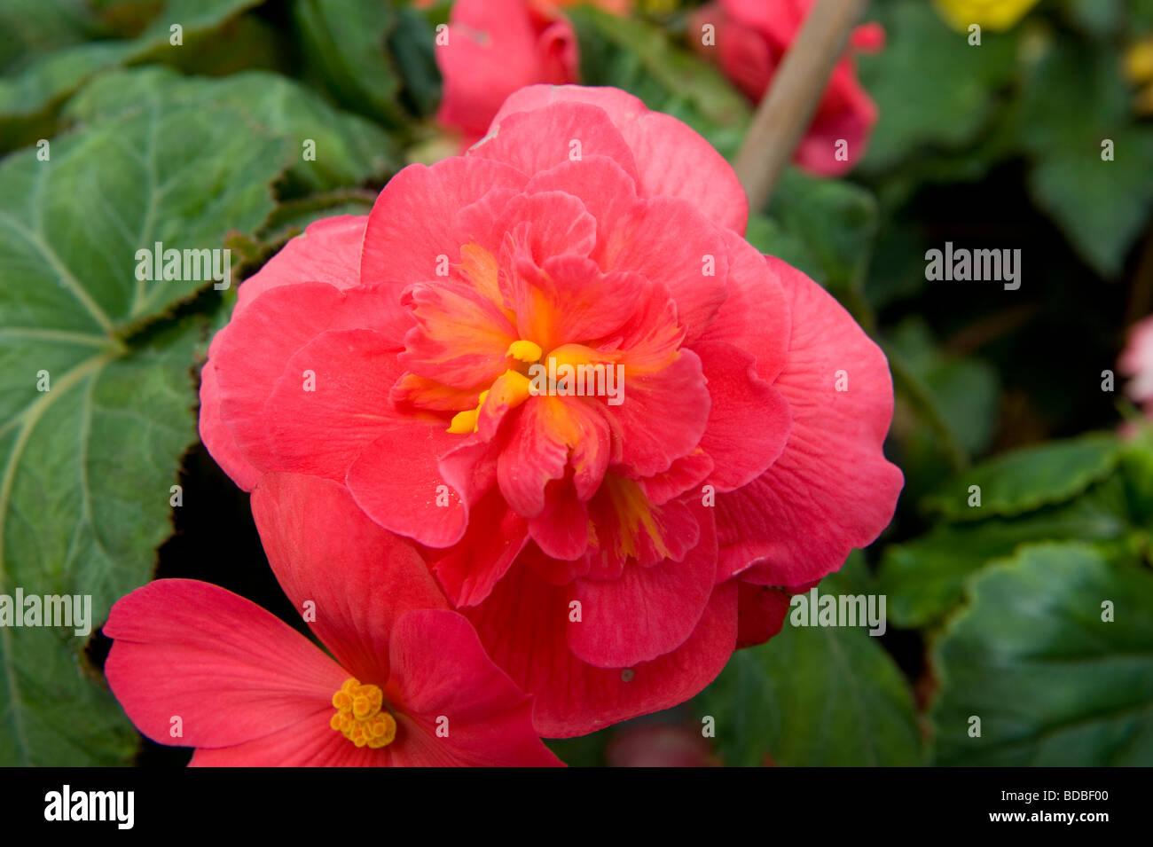 "Begonia Illumination Serie ""Beleuchtung Orange"" helle Blume in voller Blüte Stockbild"