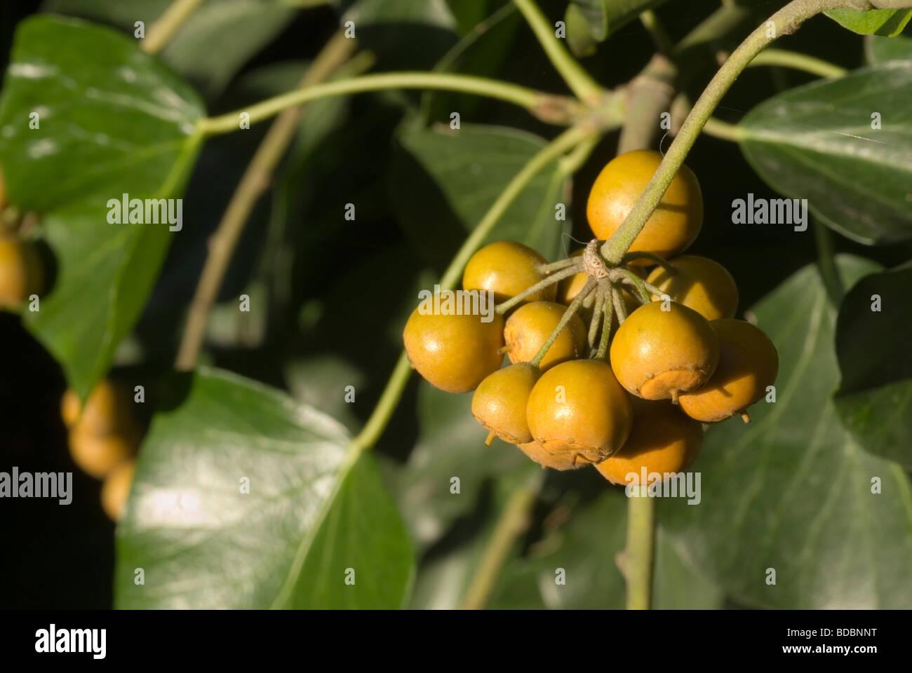 Früchte der gemeinsamen Ivy Hedera Helix, Araliaceae Stockfoto