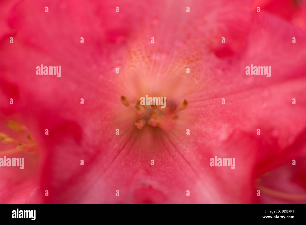 Nahaufnahme Der Blüte Rosa Rhododendron Stockfoto, Bild