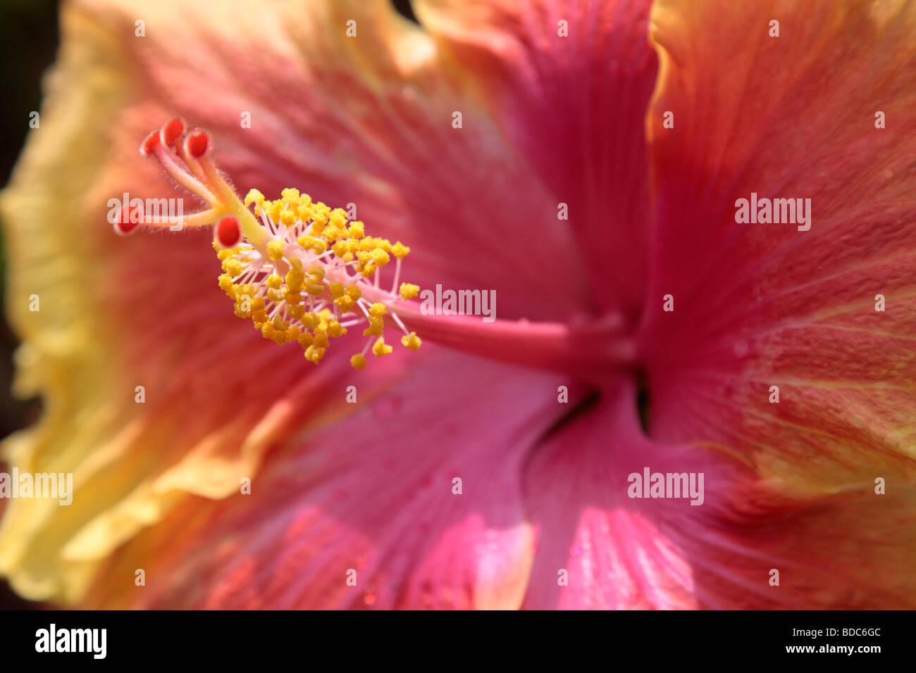hibiskusbl te malvaceae hautnah stockfoto bild 25469484 alamy. Black Bedroom Furniture Sets. Home Design Ideas