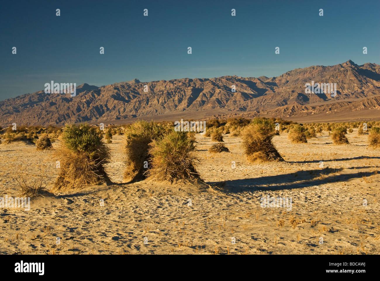 Arrowweed Gebüsch am Devils Maisfeld im Flat Mesquite Amargosa Palette in Ferne Death Valley Nationalpark Kalifornien Stockbild