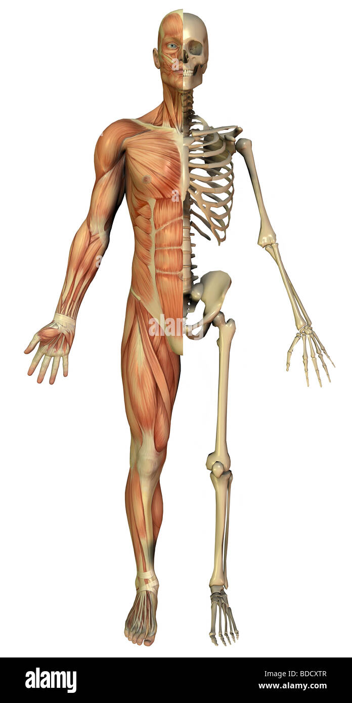 Anatomie, Muskulatur und Skelett Stockfoto, Bild: 25485399 - Alamy