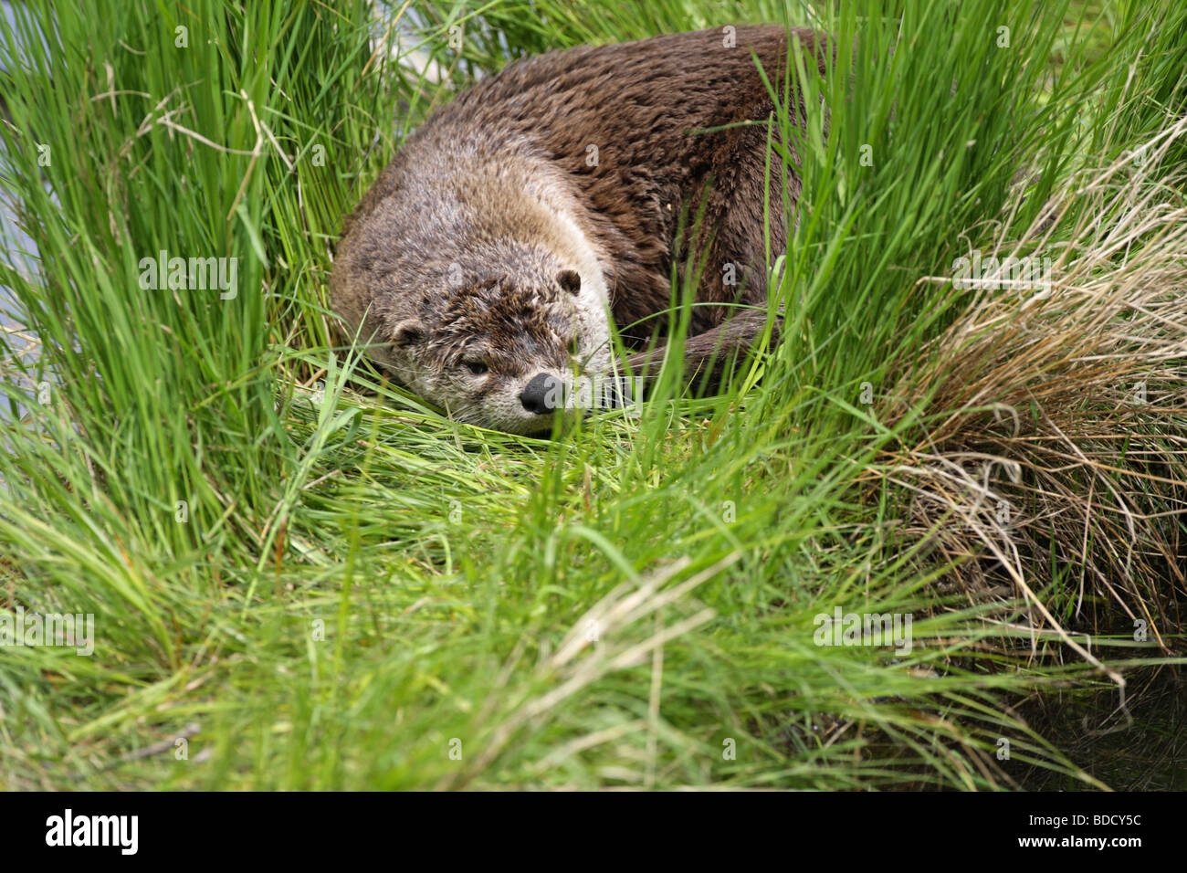 river otter alert stockfotos river otter alert bilder alamy. Black Bedroom Furniture Sets. Home Design Ideas