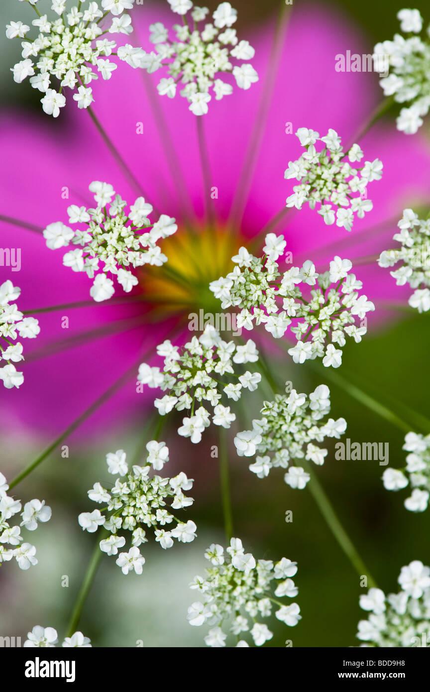 Ammi majus. Bullwart/Bischöfe weed Blütezeit vor cosmos Blume Stockbild