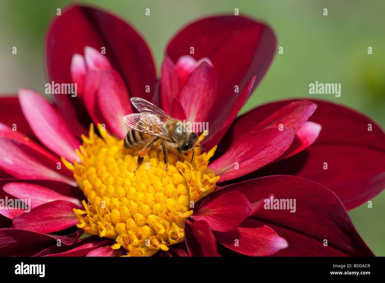 Honigbiene auf Blume Stockbild
