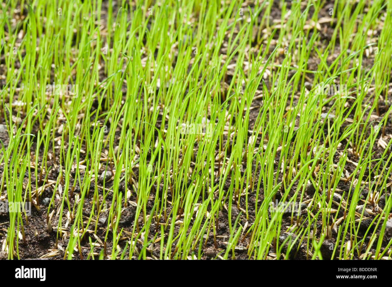 Ganz und zu Extrem Grassamen Keimen für Rasen Stockfoto, Bild: 25497075 - Alamy @KI_96