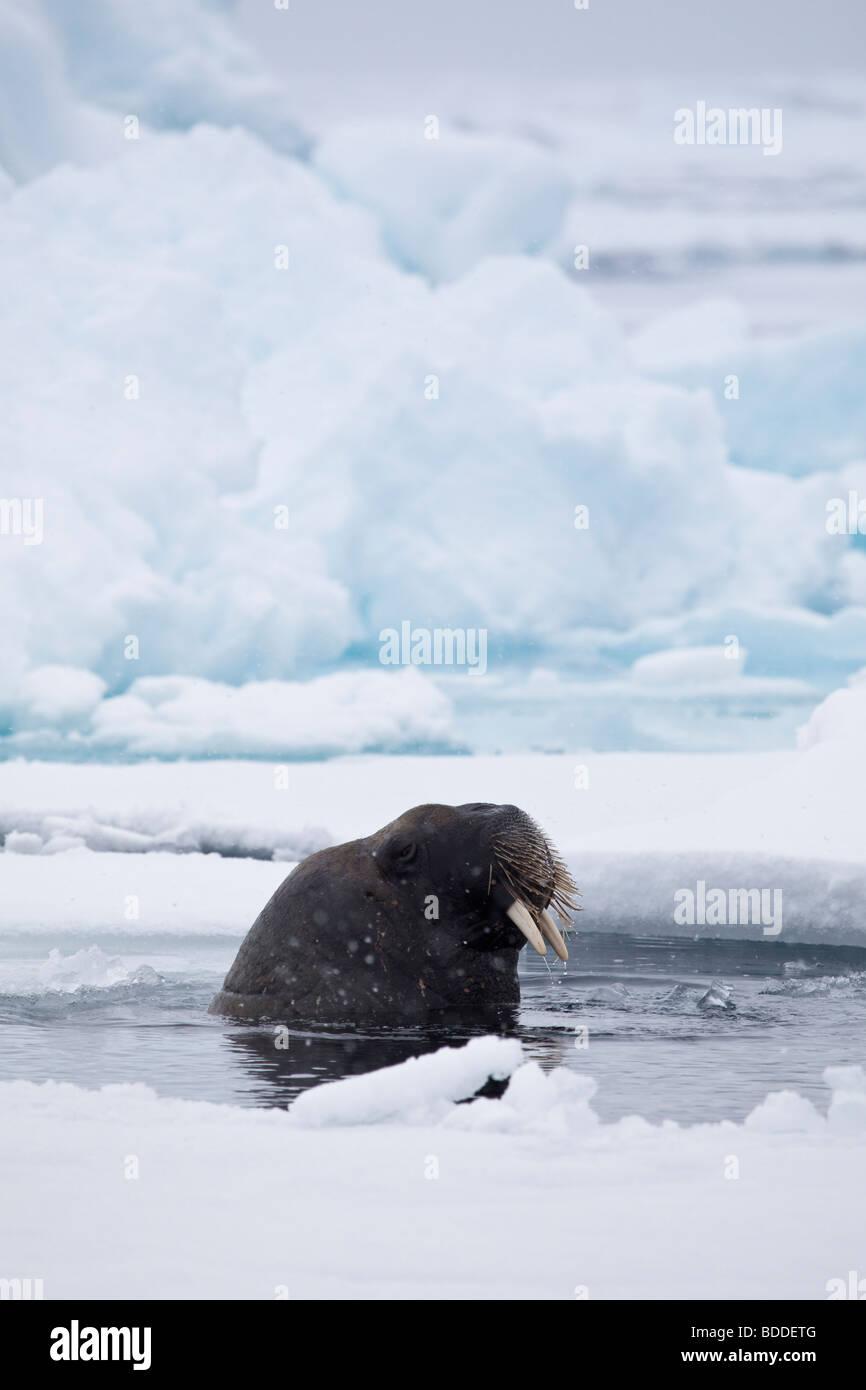 Ein Wild Eis atlantische Walross unter das Pack in Svalbard Stockfoto