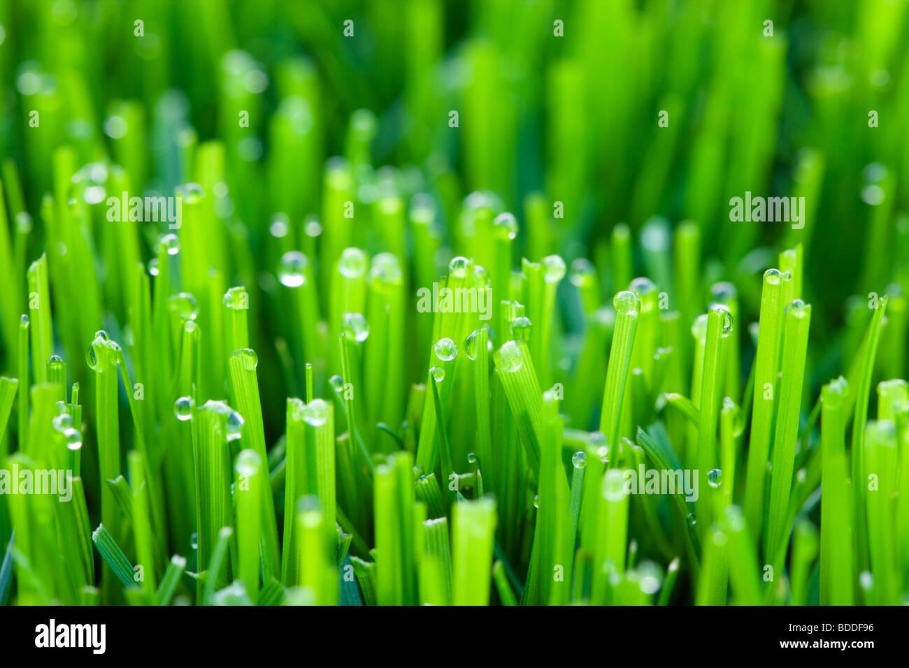 Wassertropfen auf dem Rasen Stockbild