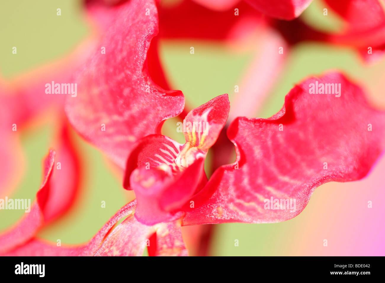 erstaunliche Azima Mokara Orchidee - Fine Art Fotografie Jane Ann Butler Fotografie JABP568 Stockbild