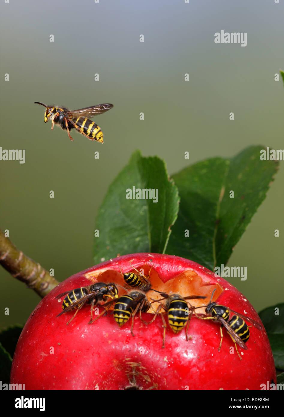 Mittlere Wespen Dolichovespula Media und gemeinsame Wespen Vespula Vulgaris Fütterung auf gefallenen Apfel Stockbild
