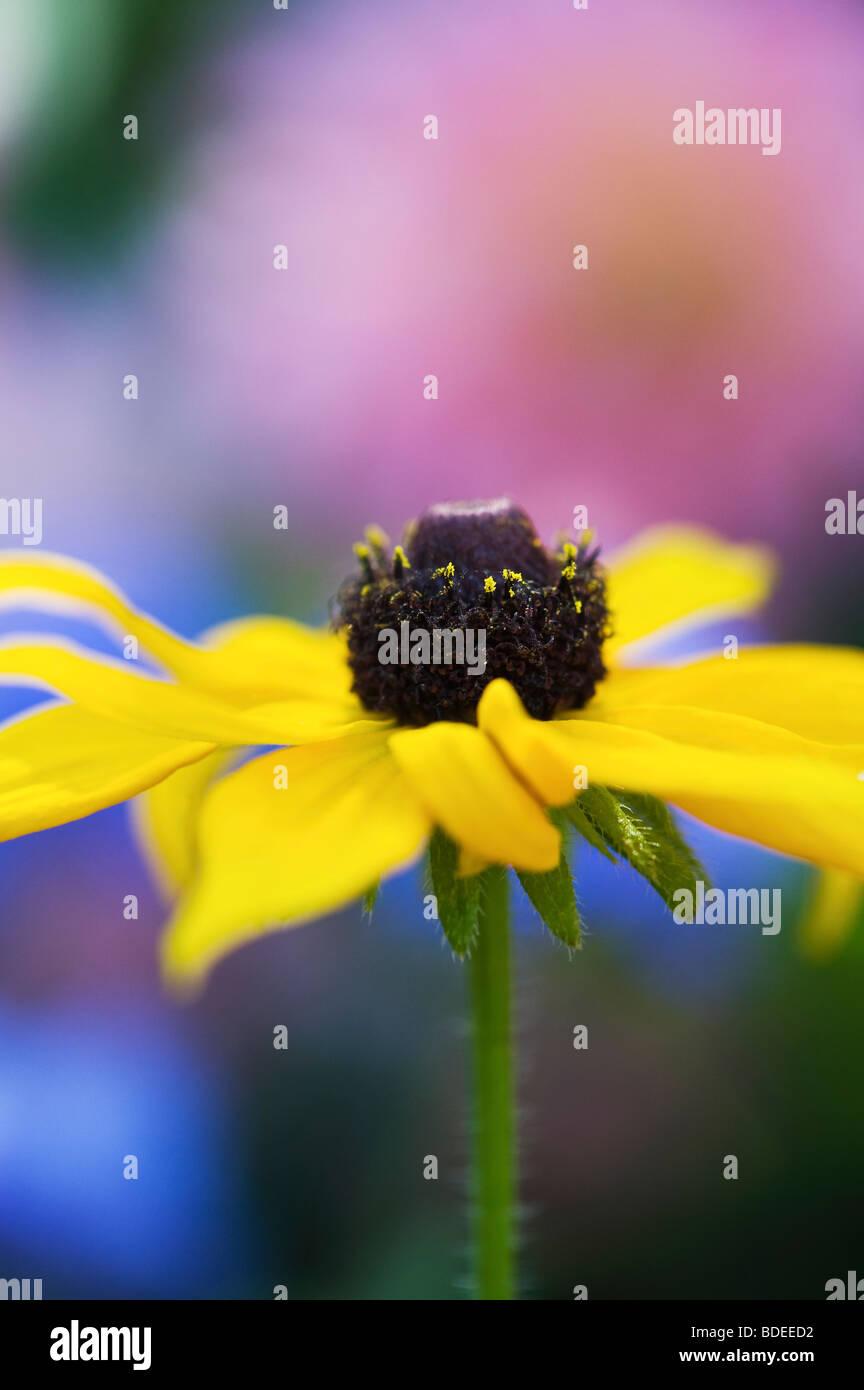 Rudbeckia Fulgida Goldsturm Blume vor blauem Hintergrund in einem Garten Stockbild