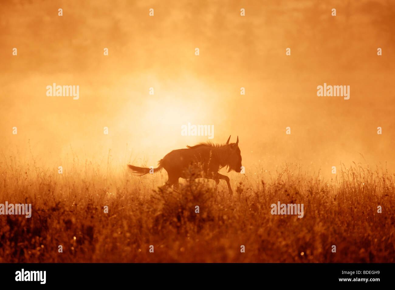 Gnus beim Sonnenuntergang auf der Serengeti Plains während der jährlichen Migration in Richtung der Masai Stockbild