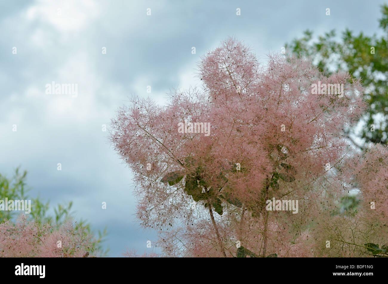 Cotinus Coggygria - rosa gemeinsamen Rauch-Baum Stockbild