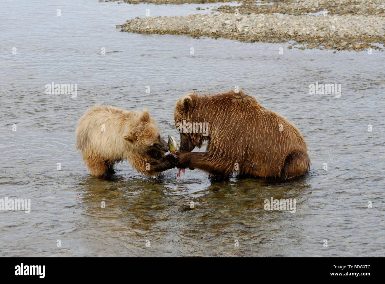 """Brown Bear """"oder"""" Grizzly Bär, Ursus Arctos Horribilis Sau Lachs mit Jungtier zu teilen. Stockbild"""