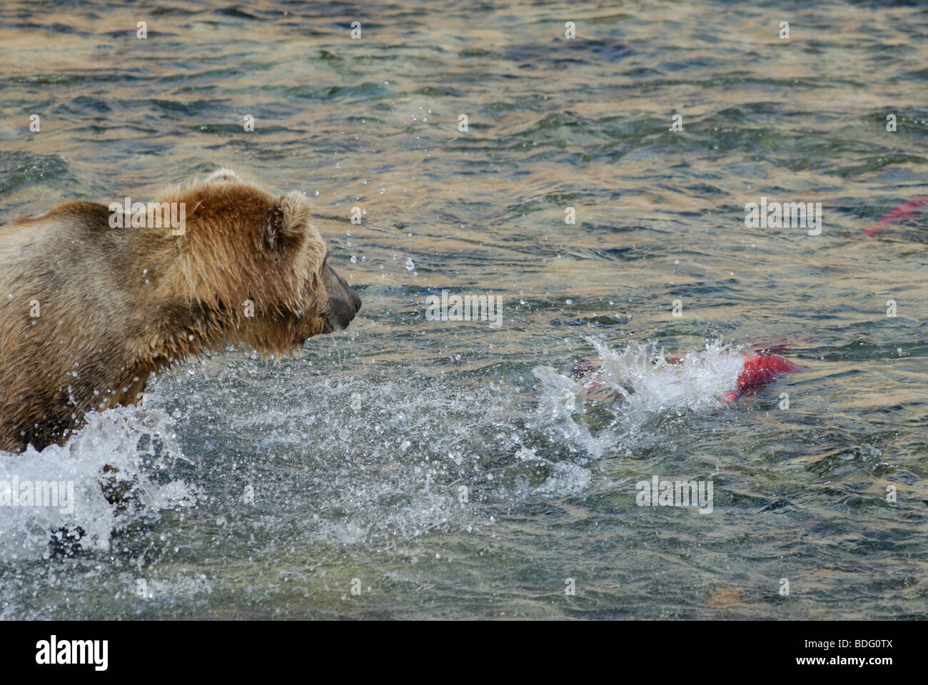 "Brown Bear ""oder"" Grizzly Bär, Ursus Arctos Horribilis, Jagd-Lachs Stockbild"