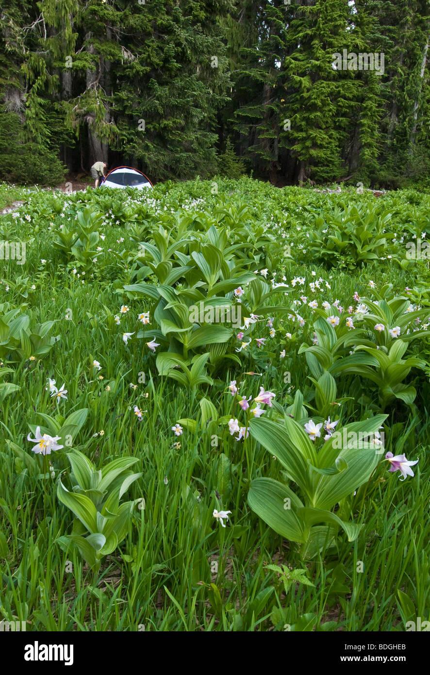 Sol Duc Park Campingplatz auf Wiese mit LVS-Lilien und Mais Lilie, Olympic Nationalpark, Washington. Stockbild