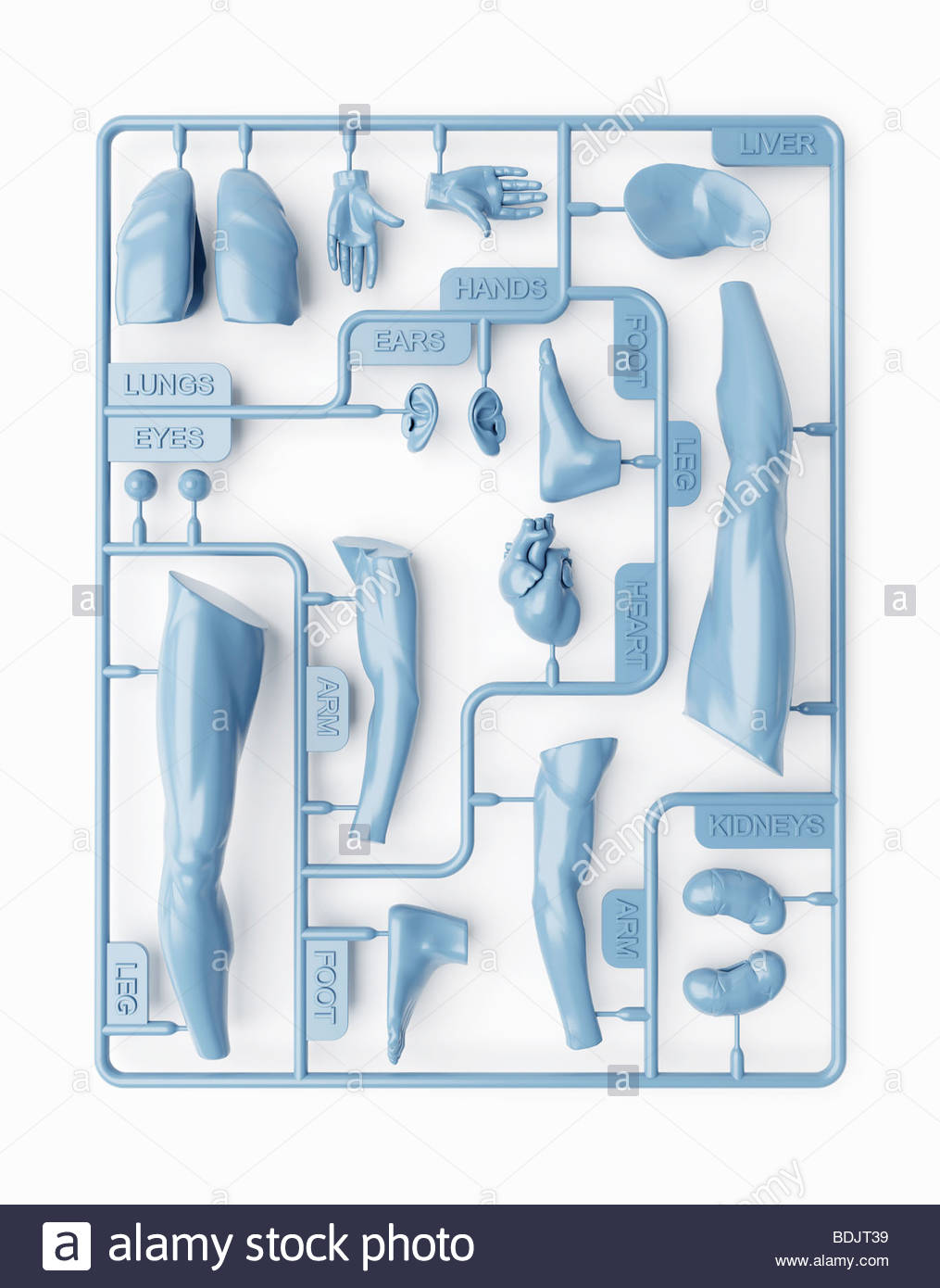Kidney And Its Parts Stockfotos & Kidney And Its Parts Bilder - Alamy