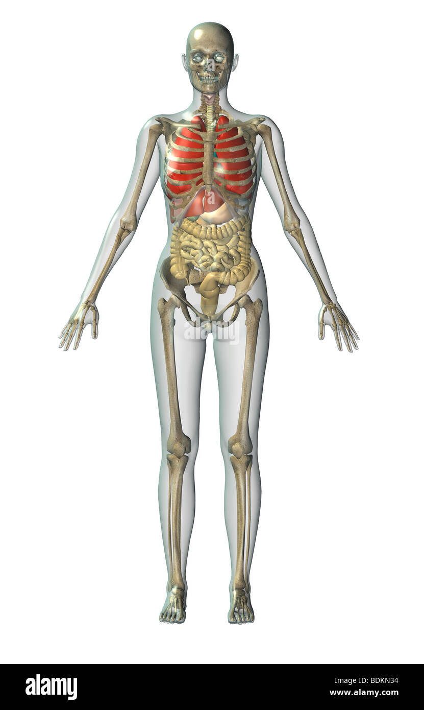 menschliche anatomische Abbildung eines erwachsenen Mannes, zeigt ...