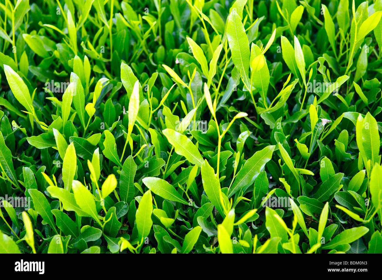 Natürliche grüne Blätter für Hintergrund Stockbild