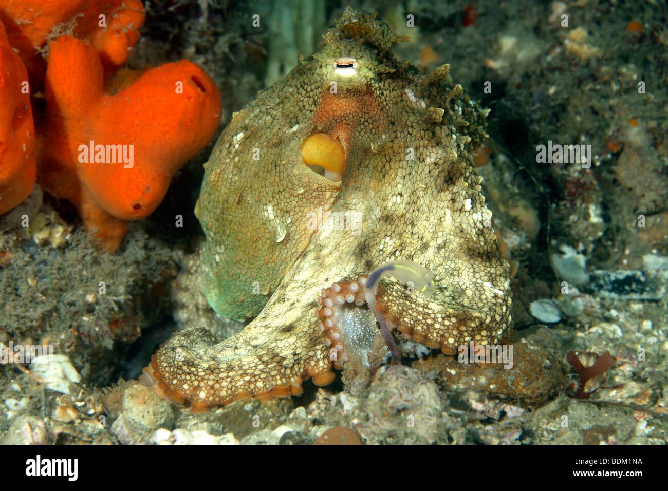 ein live Oktopus sitzen außerhalb seiner Höhle unter Wasser. Es hat seine Körperfarbe zu verschmelzen, Stockbild