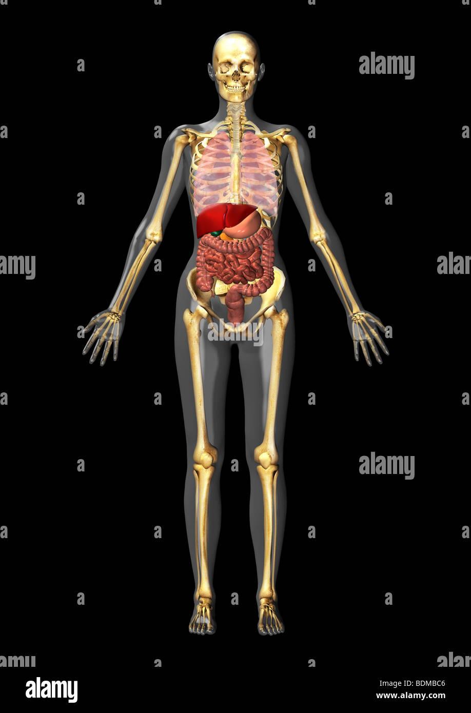 menschliche anatomische Abbildung eines erwachsenen Mannes zeigt ...