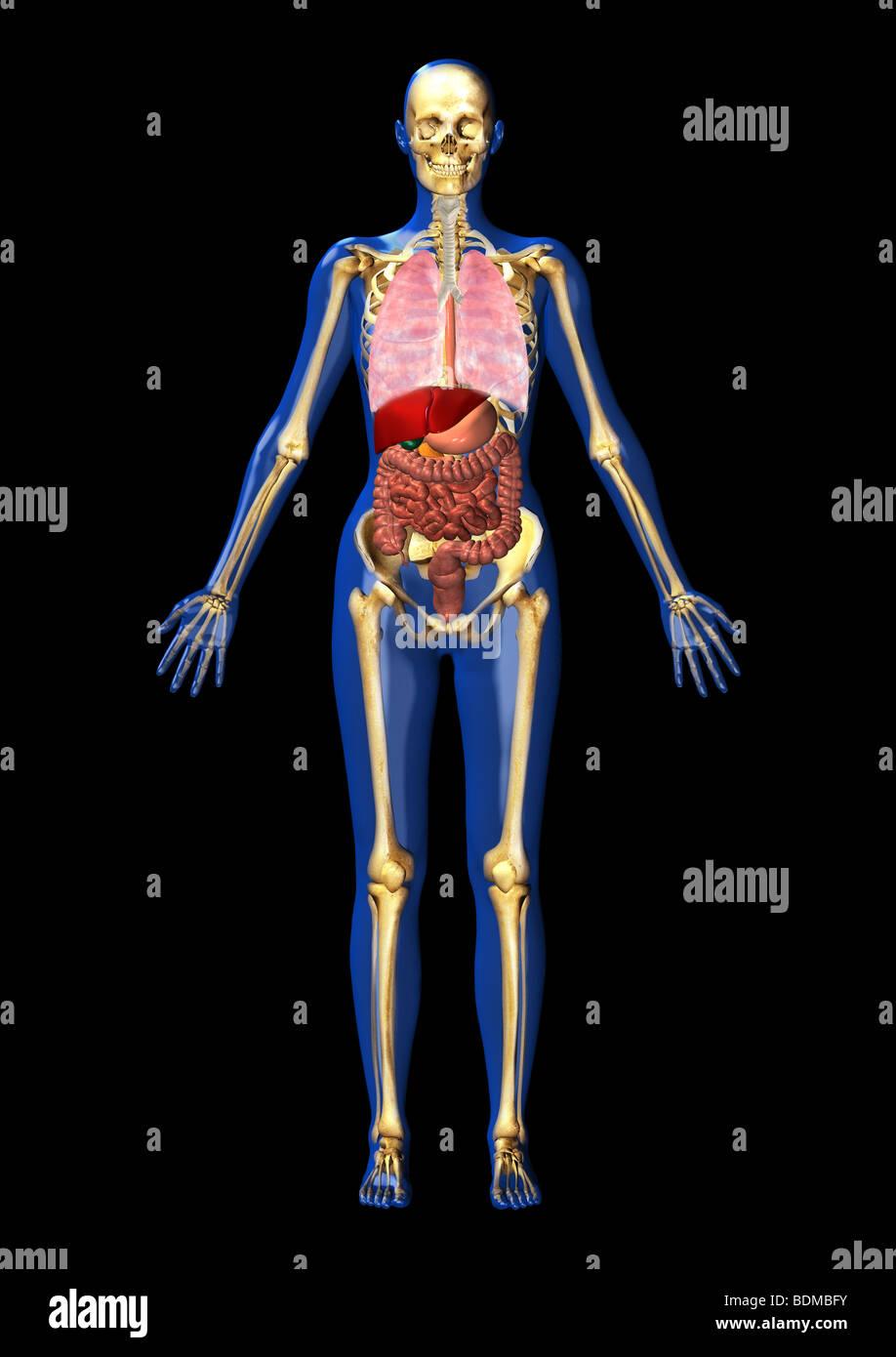 menschliche anatomische Abbildung der Lungen und GI-Systems ...