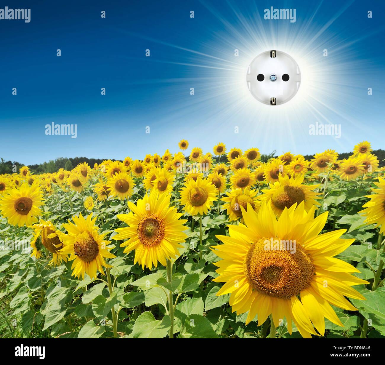 Outlet in der Sonne über Sonnenblumen Stockbild