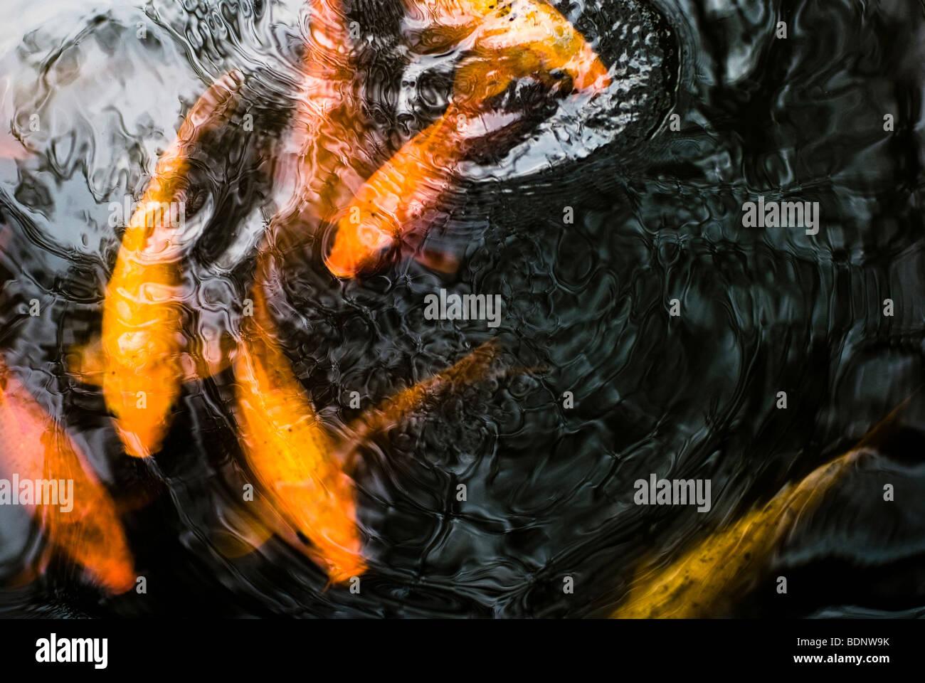 Swimming koi stockfotos swimming koi bilder alamy for Koi karpfen teich