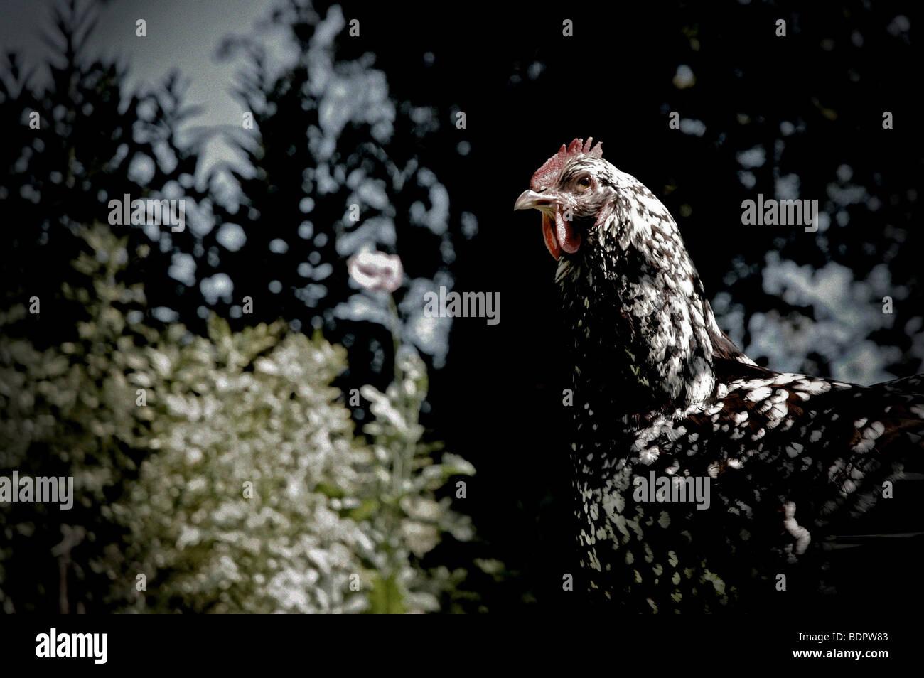 Eine gesprenkelte Sussex Henne in einem Garten Stockbild